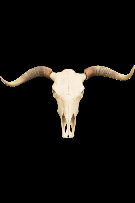 Polyresin Steer Skull